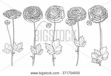 Vector Set With Outline Ranunculus Or Buttercup Flower, Ornate Leaf And Bud In Black Isolated On Whi