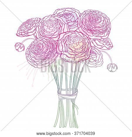 Vector Bouquet With Outline Ranunculus Or Buttercup Flower And Ornate Bud In Pastel Pink Isolated On