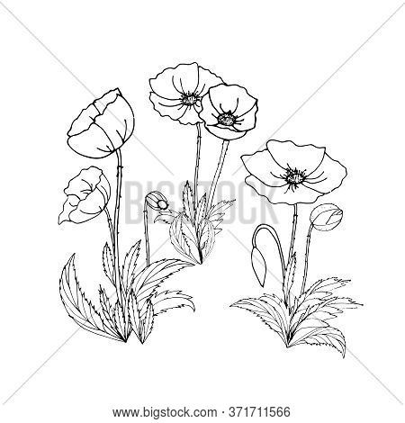 Black And White Drawing With Flowers, Buds, And Poppy Leaves. Coloring. Set Of Poppy Flowers And Bud
