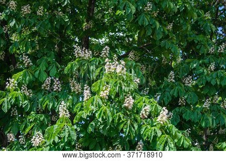 Foliage And Flowers Of Chestnut Tree Or Aesculus Hippocastanum. Horse-chestnut Or Conker Tree Flower