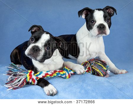 Two Boston Terrier Pups With Toy