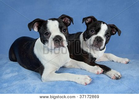 Two Boston Terriers