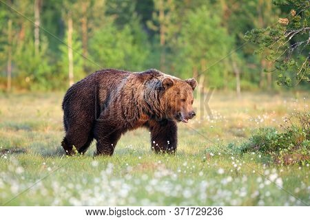 The Eurasian Brown Bear (ursus Arctos Arctos) , The Common Brown Or  The European Brown Bear, The Eu