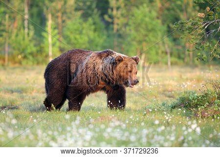 The Eurasian Brown Bear (ursus Arctos Arctos) , The Common Brown Or  The European Brown Bear, The Eu
