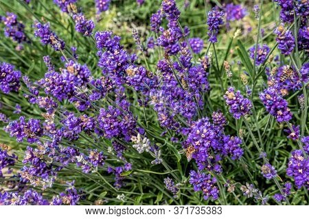 Close Up Bushes Of Lavender Purple Aromatic Flowers At Lavender Field. Close-up Of Lavender Flower O