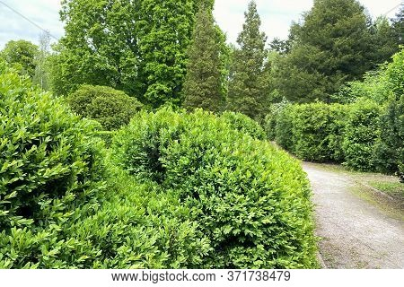 Green Bushes. Garden Or The Park, Ornamental Plant. Walking In A Park With Trees All Around.