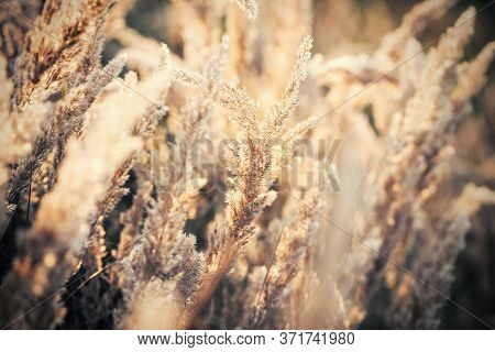 Beauty In Nature, Dry Seeds Of High Grass In Late Afternoon, Seeds Of High Grass Lit By Sunlight