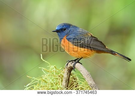 Bright And Velvet Of Blue And Orange Bird Perching On Tree Branch Over Green Mossy Grass, Male Of Bl
