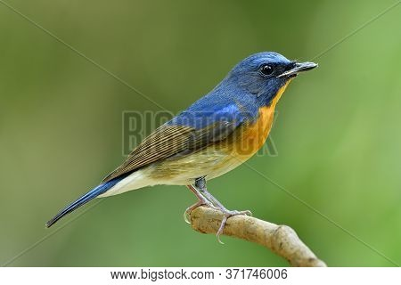 Chinese Blue Flycatcher (cyornis Glaucicomans) One Of Most Colorful Bird With Blue And Orange Feathe