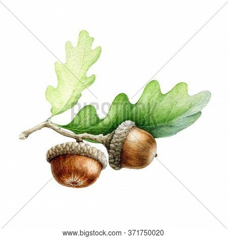 Acorn With Oak Leaves Watercolor Illustration. Hand Drawn Realistic Oak Tree Brown Nut With Green Le