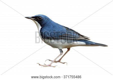 Larvivora Cyane Or Siberian Blue Robin In Male Sex, Small Passerine Bird During Thailand Visitting I