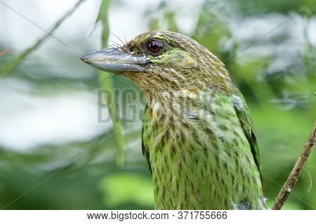 Lineated Barbet (psilopogon Lineatus) In Close Up Range With Details Of Its Face Eye Beak And Feathe