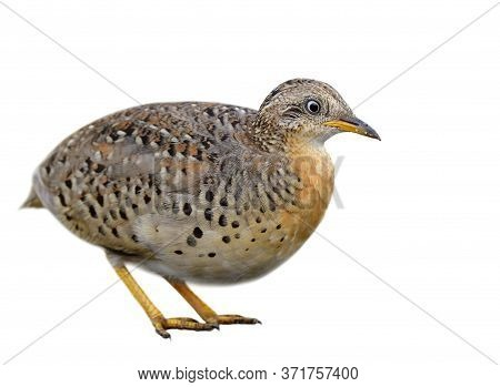 Male Of  Yellow-legged Buttonquail (turnix Tanki) Fat Camouflage Brown Bird Isolated On White Backgr