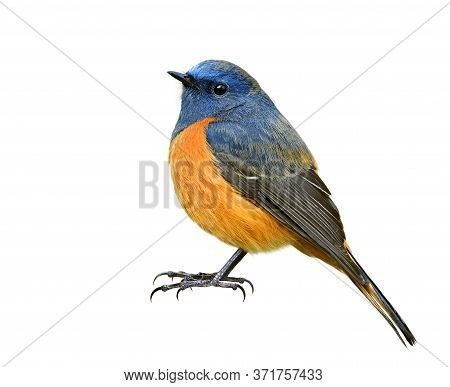 Male Of Blue-fronted Redstart, Fat Blue Bird Has Orange Belly With Bare Foot And Long Claws Isolated