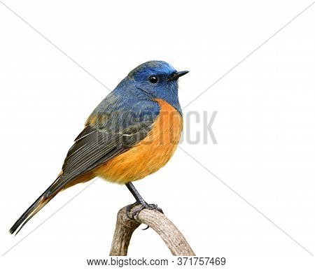 Male Of Blue-fronted Redstart, Fat Blue Bird With Orange Belly Perching On Wooden Branch Isolated On