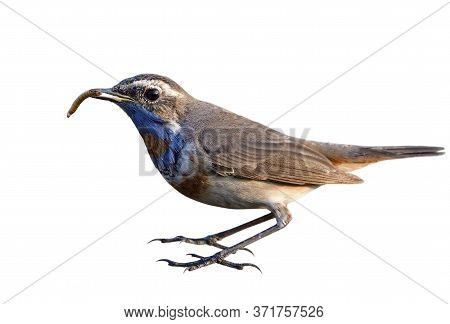 Male Of Bluethroat Holding Worm Meal In Its Beaks Isolated On White Background, Bird Eating In Actio