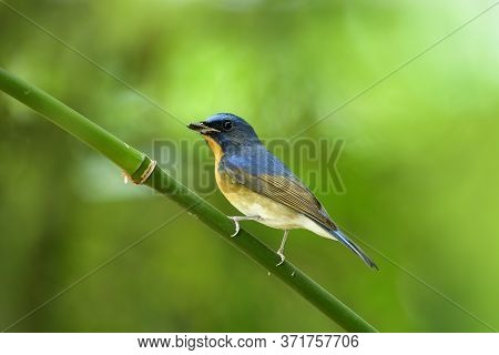 Male Of Chinese Blue Flycatcher (cyornis Glaucicomans) Beautiful Natural Blue And Orange Bird In Mus