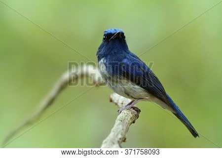 Male Of Hainan Blue Flycatcher (cyornis Hainanus) Showing Its Sharp Chin Feathers While Perching On