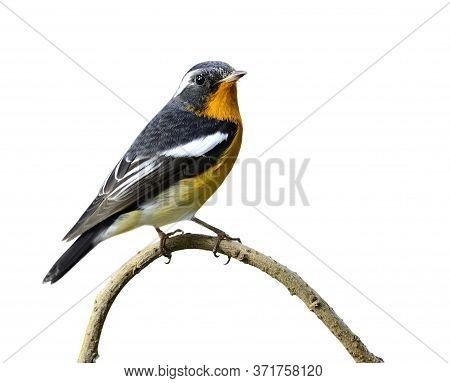 Male Of Mugimaki Flycatcher (ficedula Mugimaki) Tiny Black And White Bird With Dark Yelow Color On I
