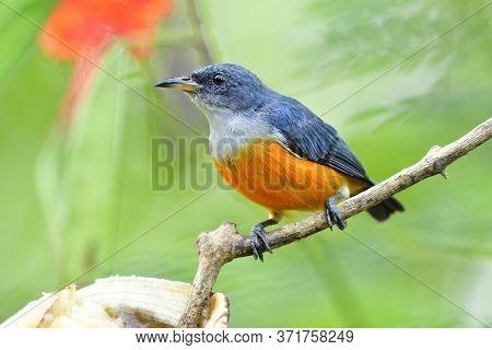 Male Of Orange-bellied Flowerpecker (dicaeum Trigonostigma) Fresh Orange And Grey Bird Perching On T