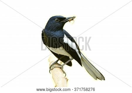 Male Of Oriental Magpie Robin (copsychus Saularis) Carrying Queen Ant In His Bills While Perching On