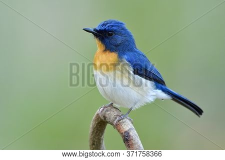 Male Of Tickell's Or Indochinese Blue Flycatcher (cyornis Tickelliae) In Fuffly Feathers On Cold Day