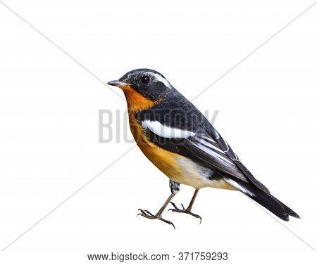 Mugimaki Flycatcher (ficedula Mugimaki) Beautiful Golden Belly Black Wings And White Eyebrow Littlel