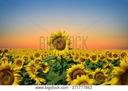 Tall Sunflower Among The Field At Sunset. Agricultural Crops.