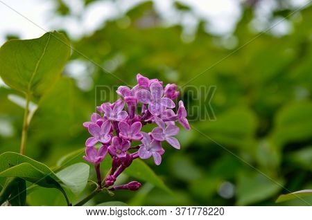 A Young Lilac Blossomed Among Green Leaves In Spring.