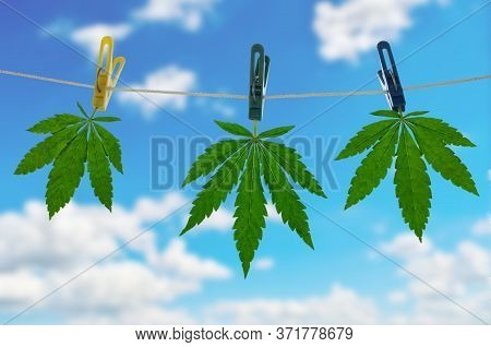 Cannabis Leaves Are Dried On Clothespins. Marijuana Production Concept