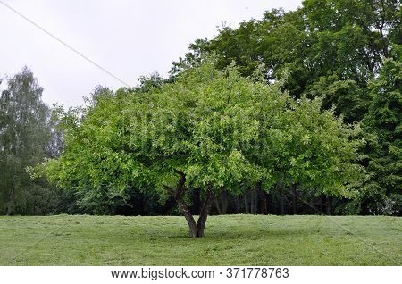 Large, Branchy Tree On A Background Of Green Forest