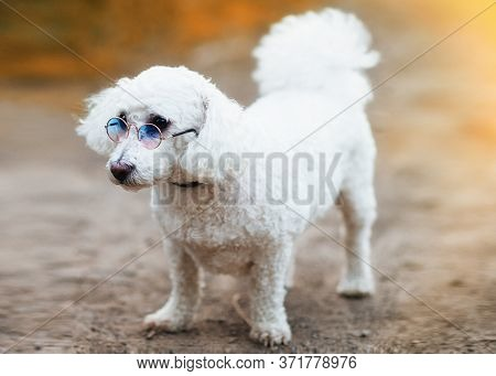 The Cute White Curly Bichon Frise Dog On The Walk White Curly Bichon Frise Dog On The Walk