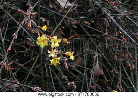 Winter Jasmine, Jasminum Nudiflorum Oleaceae,  Small Yellow Flowers Against A Dark Background Of Vin
