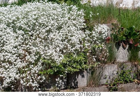 White Ground Cover Plant Cerastium Tomentoseum Growing On A Wall Of Concrete Elements