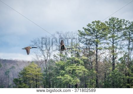 A Pair Of Canadian Geese Flying Over The Lake Into The Woodlands Honking At Other Geese Nearby On A