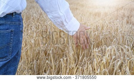 Agronomist Hand Touching Ripened Wheat Ears In The Sunlights Closeup. Autumn, Harvest Time Concept.