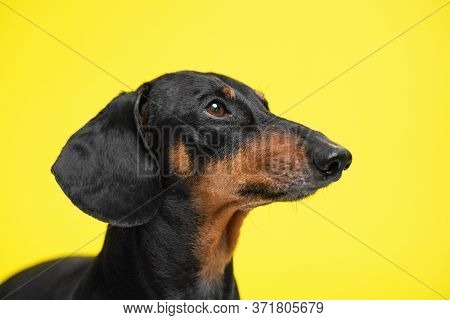 Muzzle Portrait Adorable Dachshund Dog, Black And Tan, Looking Up On A Yellow Background. Obedient A