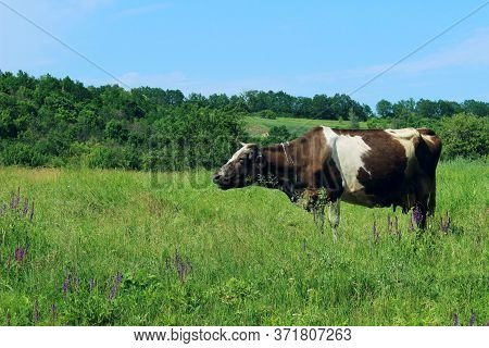 Cow Standing In Farm Pasture. Shot Of A Herd Of Cattle On A Dairy Farm. Nature, Farm, Animals, Trave