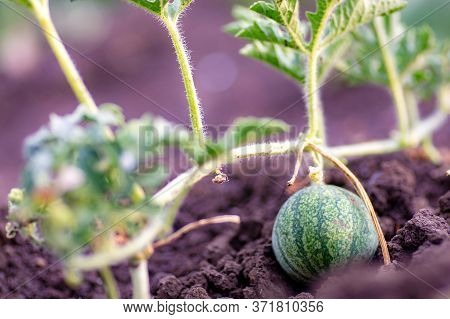 Organic Watermelon Growing On The Field At Eco Farm. Closeup Of Growing Small Green Striped Watermel