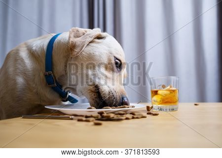 Cute Dog Eats Food From A Plate. Labrador Is Sitting On A Chair At The Table And Eating Dog Food