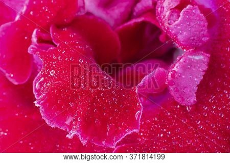 Close Up Of Center Of Flower Of Pink Sinningia Or Gloxinia Speciosa, One Open Bright Flower With Wat
