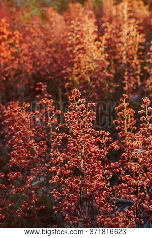 Abstract Red Small Flowers Plant Background In Sunset Back Light. Soft Selective Focus. Vertical Car