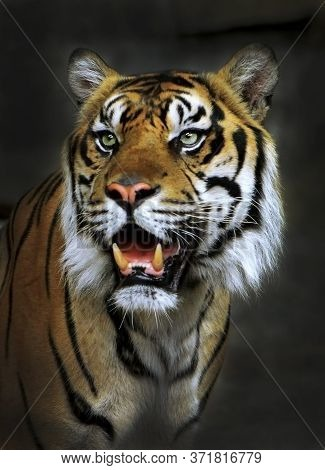 Adult Male Indian Tiger, King Of The Jungle, Portrait