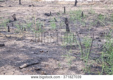 Black Extinct Bonfire And Brown Branches In The Forest,