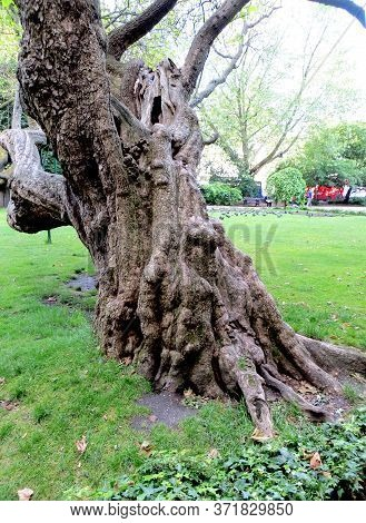 Very Old Textured Artsy Thick Half-dry Tree In A London Park