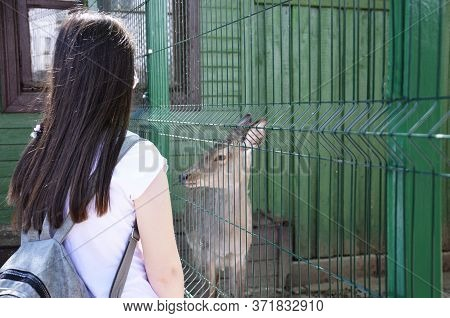 A Girl At The Zoo Is Watching A Small Fawn. A Wild Animal Behind A Green Fence. Young Deer In The En