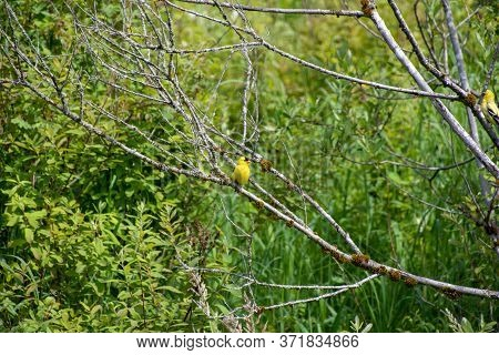 American Goldfinch Perching On The Branch.     Vancouver Bc Canada