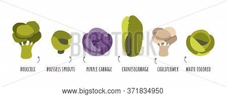 Vector Set Of Cabbage In Flat Style. Gardening, Agriculture Infographic As It Grows. Flat Design Sty