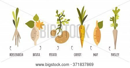 Vector Set Of Root Vegetables In Flat Style. Vectra Carrots, Potatoes, Onions, Horseradish, Parsley.