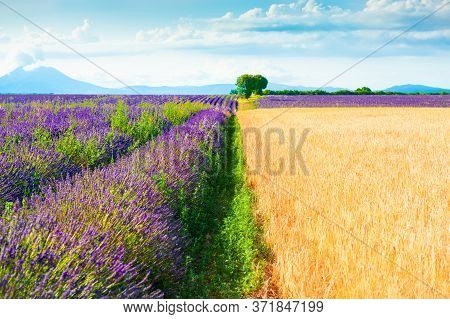 Fields Of Wheat And Lavender Near Valensole, Provence, France. Beautiful Summer Landscape